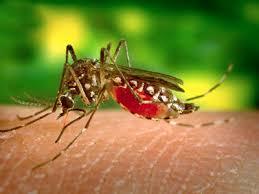 Nyamuk Aedes Aegypti penyebab DB