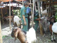 Dinas Pertanian Mataram Temukan Penyakit Pada Hewan Kurban