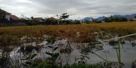 Pemprov Belum Terima Laporan Tanaman Padi Rusak Akibat Banjir