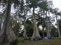 Destinasi Pohon Purba Lian di Lotim, Pepohonan Berusia 3,5 Abad