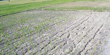 353 Hektar Lahan Padi di NTB Alami Puso